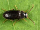 Mycetochara foveata