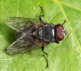 Muscina pascuorum