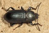 Centronopus calcaratus