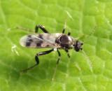 Allohelea sp. (female)