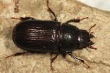 Ceruchus piceus (female)