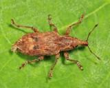 Weevils - Subfamily Cyclominae