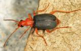 Brachinus cyanipennis