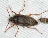 Androchirus erythropus