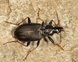 Agonum albicrus