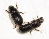 mating Stag Beetles - Ceruchus piceus