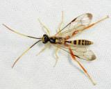Spilopteron vicinum