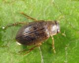 Berosus peregrinus