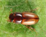 Aphodius stercorosus