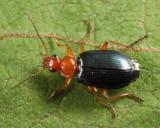 Lebia atriventris