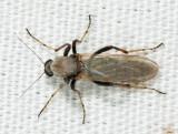 Sphaeromias longipennis