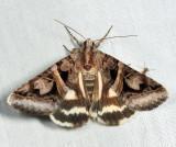 8641 - Figure-seven Moth - Drasteria grandirena