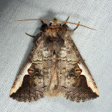 7952 - Red-humped Oakworm - Symmerista canicosta