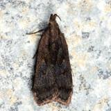 2299 - Dichomeris leuconotella
