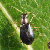 Hypebaeus oblitus