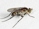 Tachytrechus sp.