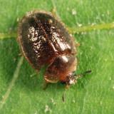 Thymalus marginicollis