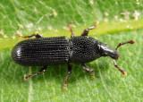 Weevils - Subfamily Cossoninae