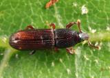 Cossonus sp.