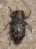 Chrysobothris quadriimpressa