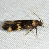 1134 - Four-spotted Yellowneck - Oegoconia quadripuncta