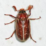 Variegated June Beetle - Polyphylla variolosa