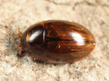 Enochrus blatchleyi
