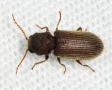 Priobium sericeum
