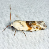 9090 - Olive-shaded Bird Dropping Moth - Ponometia candefacta