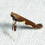 0642 – Caloptilia umbratella