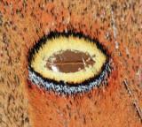 7757 - Polyphemus Moth - Antheraea polyphemus (eye spot)