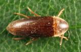 Anisoxya glaucula