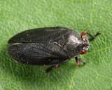 Red-legged Spittlebug - Prosapia ignipectus
