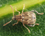 Meibomeus musculus