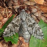 2693 - Carpenterworm Moth - Prionoxystus robiniae