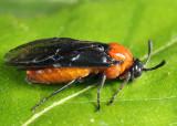 Birch Sawfly - Arge pectoralis