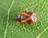 Atractotomus rubidus