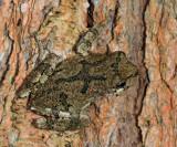 Gray Treefrog - Hyla versicolor