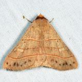 8587 - Red-lined Panopoda - Panopoda rufimargo