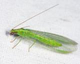 Chrysoperla rufilabris