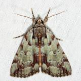 8865 - Praeclara Underwing - Catocala praeclara