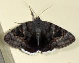 8773 - Epione Underwing - Catocala epione