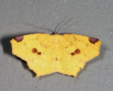 6987 - Variable Antepione - Antepione thisoaria