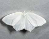 6965 - Snowy Geometer - Eugonobapta nivosaria
