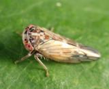 Idiocerus albolinea