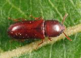 Corticeus praetermissus