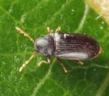 Petalium bistriatum