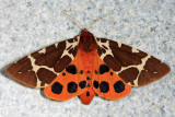 8166 - Great Tiger Moth - Arctia caja