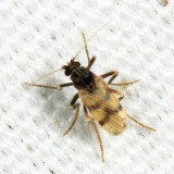 Corethrella brakeleyi (female)