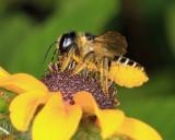 Megachile pugnata